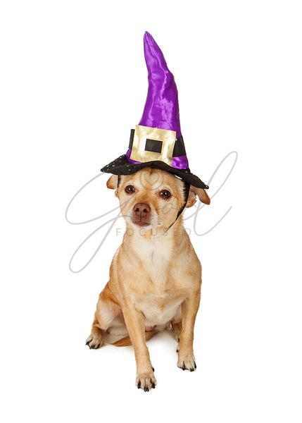 Chihuahua Dog Wearing Witch Hat