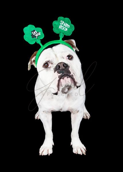 Funny St. Patrick's Day Dog Over Black