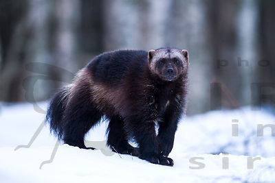 Mustelidae photos