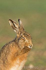 Brown Hare, Lepus europaeus, washing, North Norfolk March