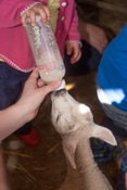 Baby lamb being bottle fed - upright format