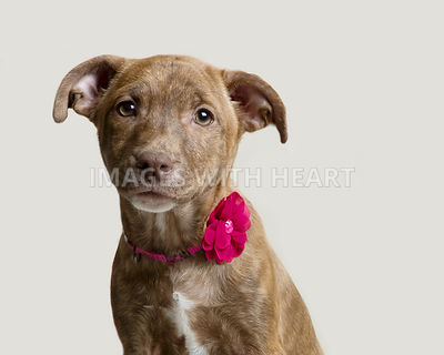 Studio head shot of a mixed breed puppy dog looking at the camera