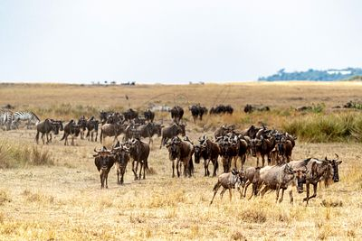 Herd of Wildebeest Migrating in Kenya