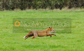 A Red Fox, Vulpes Vulpes- Royalty Free Image