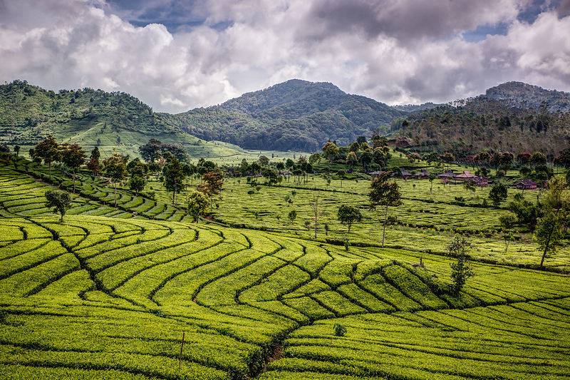 Indonesian Tea Field, Java.