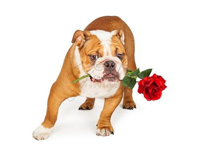 Bulldog Holding Red Rose in Mouth