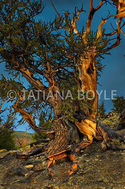 Bristlecone pine between thunderstorms