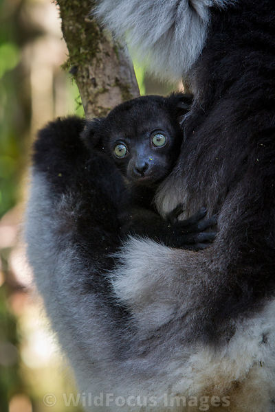 Lemurs photos