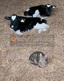 Two Holstein calves and a farm cat