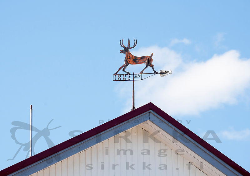 Wild Forest Reindeer on top of the town hall of Lestijärvi