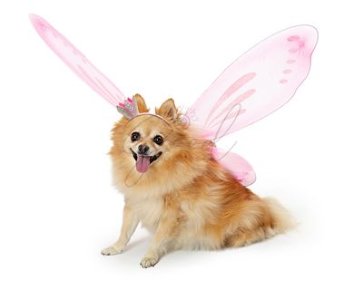 Pretty Pomeranian Dog Wearing Fairy Costume
