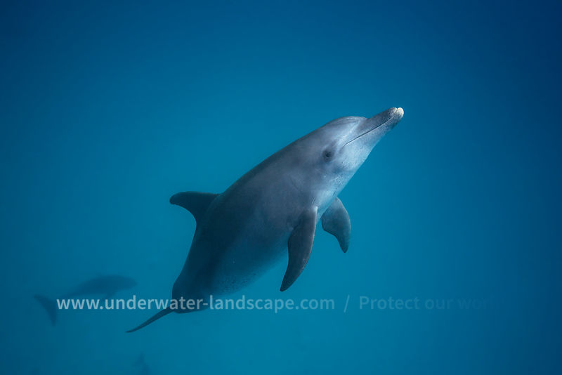 Bottlenose dolphin - Underwater photography