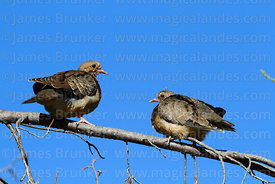 Adult Eared dove (Zenaida auriculata, L) and young (R)