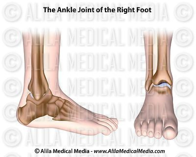 Ankle joint unlabeled diagram.