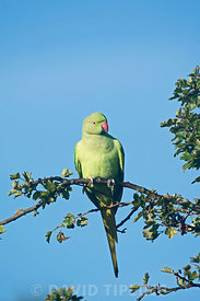 Ring-necked Parakeet Psittacula krameri feeding in Hawthorn in Richmond Park London October