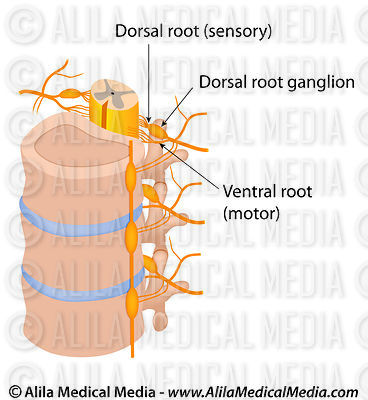 Dorsal and ventral roots of spinal nerve.