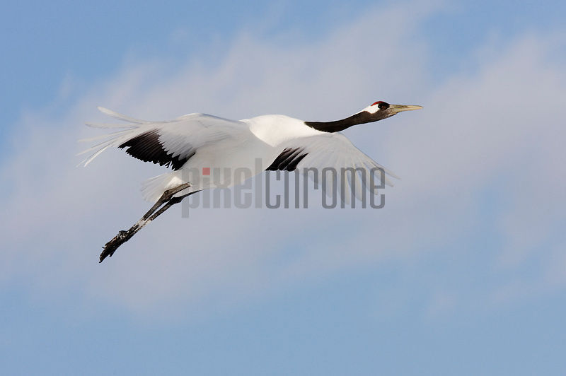 Red Crowned Crane in Flight, International Crane Center, Akan, Hokkaido, Japan