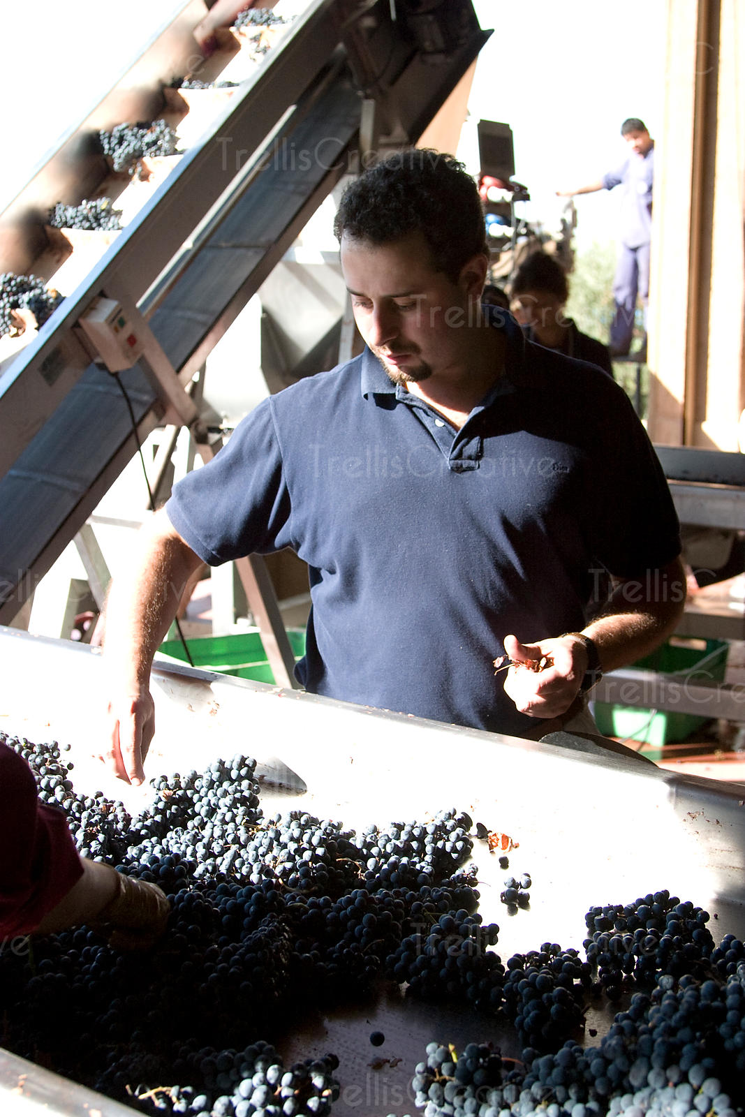 A young male winemaker sorts red grapes on a winery sorting table