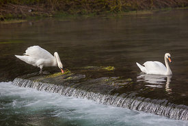 Swans in the river at Lathkill