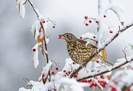 Mistle Thrush Turdus viscivorus feeding on berries in garden in snow Norfolk winter