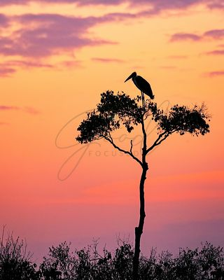 Stork on Acacia Tree in Africa at Sunrise