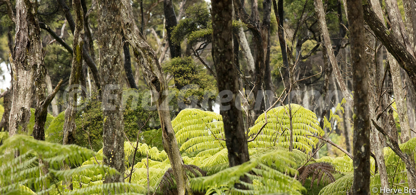 Ferns and trees New-Zealand