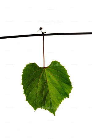 Isolated Vine leaf