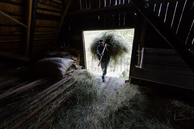 Farm Worker Loading Hay into a Barn by Hand