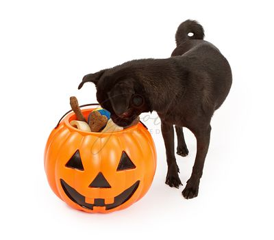 Pug Puppy Looking Into Haloween Pumpkin With Treats