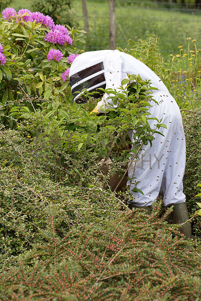Bee keeper working to remove bee swarm