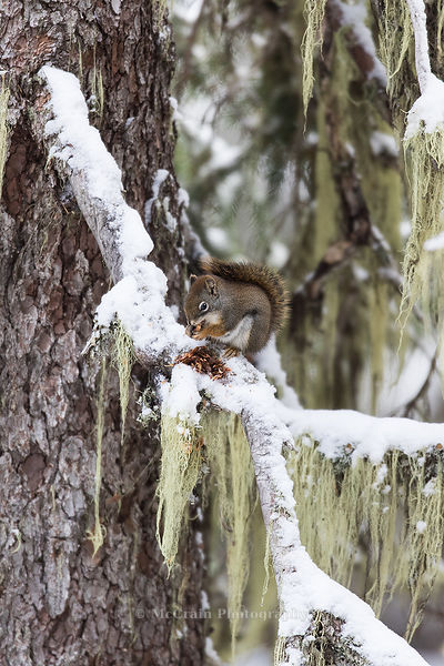 While the birds were somewhat scarce there were plenty of Red Squirrels. This one was busily eating a pine cone.
