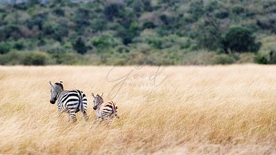 Mom and Baby Zebra in Kenya With Copy Space