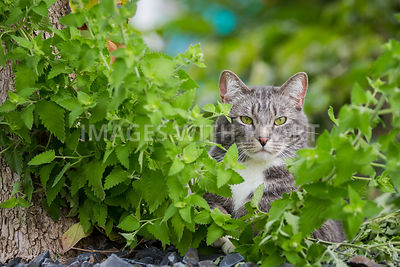 Grey Cat Laying in Catnip, outdoors