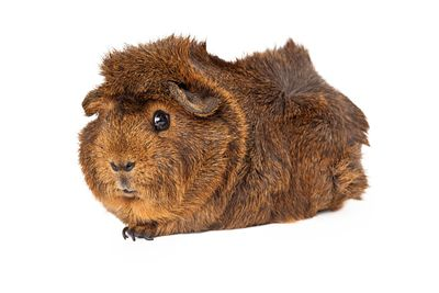 Peruvian Guinea Pig laying to side