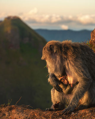 Monkey's on side of Mt. Batur Caldera