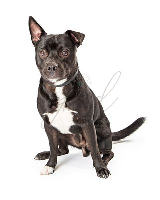 Attentive Black Pit Bull Terrier Dog Sitting Isolated