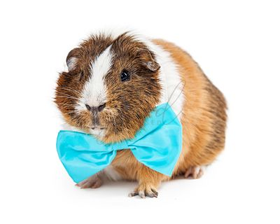 Cute Guinea Pig Wearing Blue Bow Tie