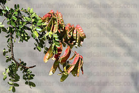 Fruit of Spiny Holdback tree (Caesalpinia spinosa, local name tara)