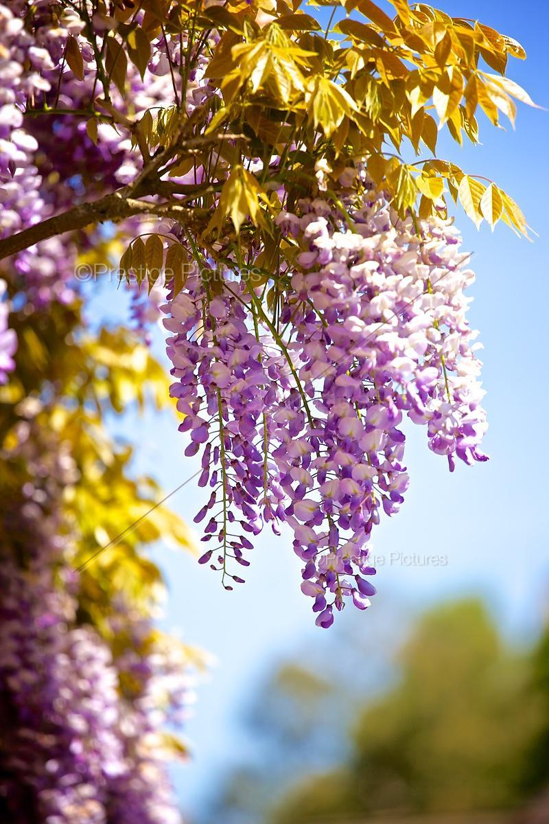 Wisteria Flowers Hanging Against a Blue Sky