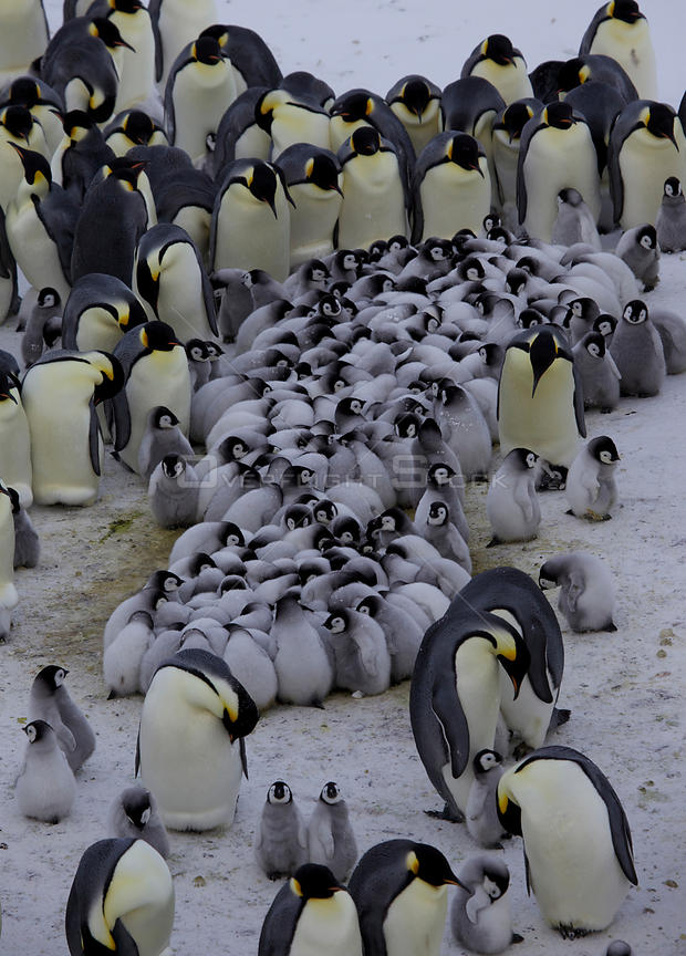 Emperor penguin (Aptenodytes forsteri) creche of chicks huddle surrounded by adults, Antarctica, September.