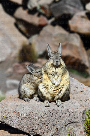 Southern viscacha ( Lagidium viscacia ) and baby