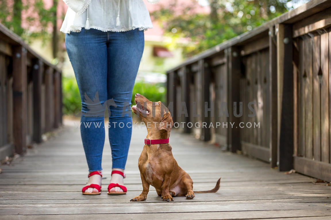 Dachsund looks adoringly at owner with wooden background and matching red accessories