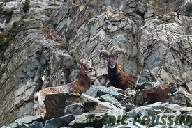 couple de mouflon