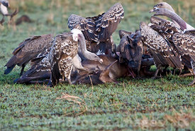 Vultures feeding on a dead wildebeast, Masai Mara National Reserve, Kenya; Landscape