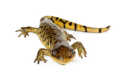 Cute Tiger Salamander Looking Forward