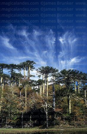 Monkey Puzzle (Araucaria araucana) forest, Huerquehue National Park, Region IX, Chile