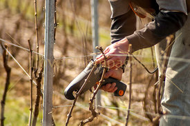 pruning-champagne