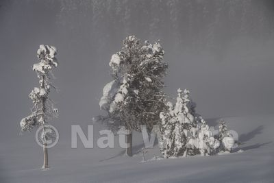 Frosted_Bison-1860_January_21_2018_Nat_White