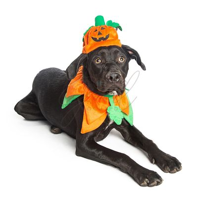 Cute Black Dog in Pumpkin Costume