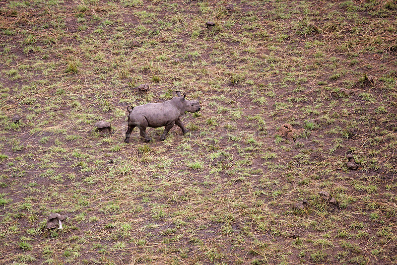 Aerial view of young Northern white rhinoceros {Ceratotherium simum cottoni} taken from anti-poaching aircraft in 1989, Garamba NP, Dem Rep Congo.